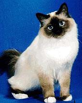 http://zoomoda.ru/wp-content/uploads/cats/birma.jpg